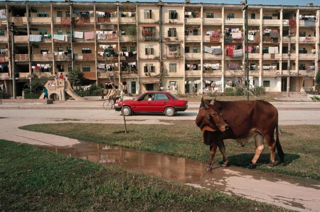 Bò chạy rông trên bờ hồ Giảng Võ, phía trước nhà B1 của khu tập thể Giảng Võ, Hà Nội
