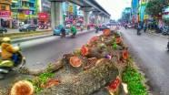Cây xanh trên một tuyến đường của Hà Nội bị chặt hạ để xây tàu điện trên cao.